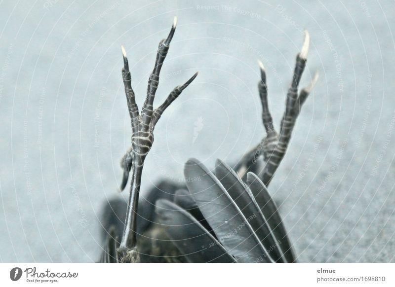 der piept nich mehr Natur schwarz Umwelt Traurigkeit Tod Vogel liegen authentisch Feder Tierfuß Trauer dünn Schmerz gruselig Umweltschutz Jagd