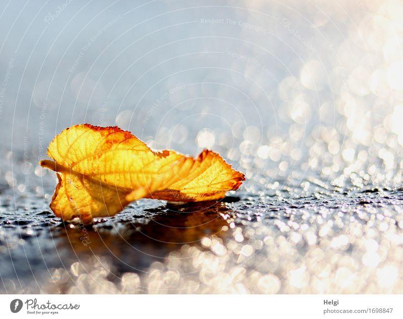 1300 | das goldene Blatt... Umwelt Natur Pflanze Wasser Herbst Straße glänzend leuchten liegen dehydrieren ästhetisch außergewöhnlich einzigartig klein nass