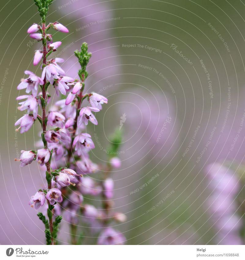 blühendes Heidekraut Umwelt Natur Pflanze Sommer Schönes Wetter Blüte Wildpflanze Heidekrautgewächse Blühend Wachstum ästhetisch schön einzigartig klein