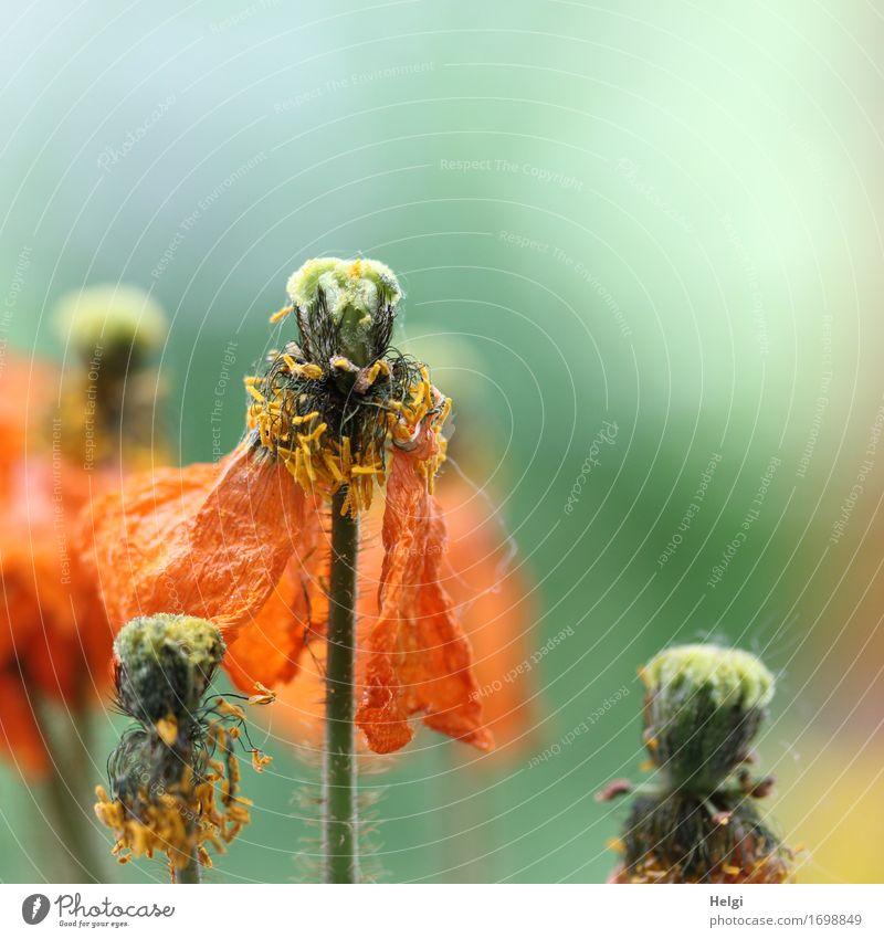 vergänglich... Umwelt Natur Pflanze Sommer Blume Blüte Mohnblüte Mohnkapsel Stengel Blütenblatt Pollen Garten Blühend stehen verblüht Wachstum authentisch