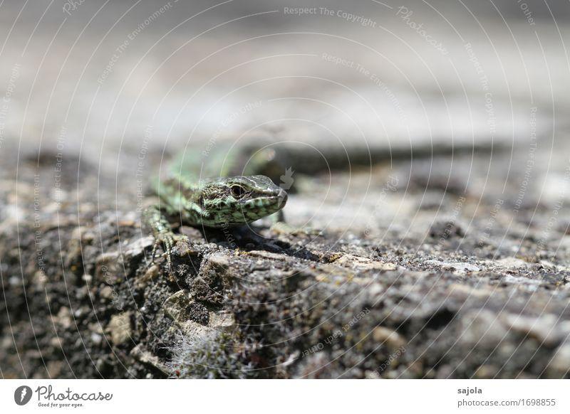 eidechse im blick Natur Tier Mauer Wand Wildtier Echte Eidechsen Reptil 1 beobachten Blick warten Sonnenbad heizen regenerativ Erholung Farbfoto Außenaufnahme