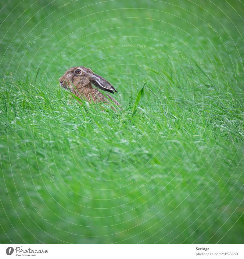 Grashüpfer mit langen Ohren Natur Landschaft Pflanze Tier Park Wiese Feld Wald Tiergesicht Fell Krallen Pfote 1 Fressen füttern hocken Hase & Kaninchen