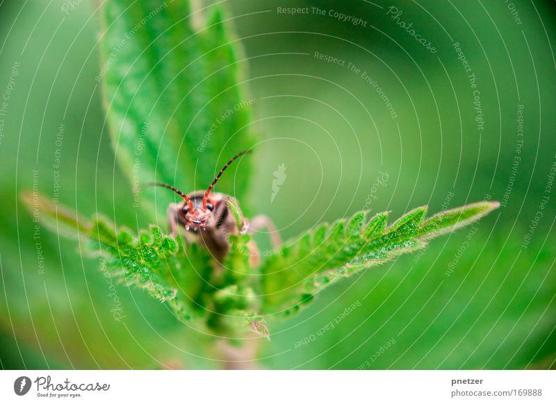 Buh Natur Pflanze Tier Blatt Frühling Wildtier Tiergesicht Käfer Fühler Grünpflanze Blattgrün hellgrün giftgrün