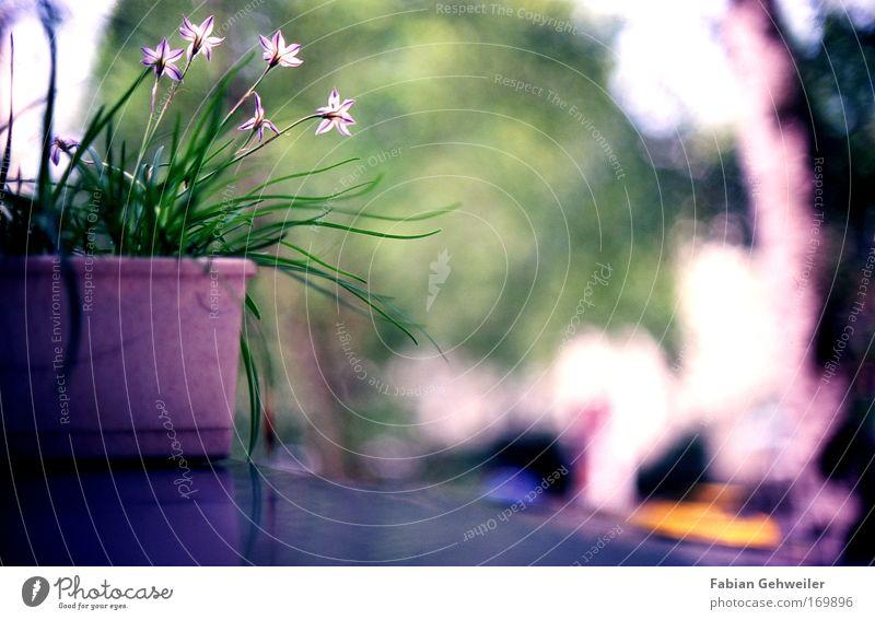 Balcony flower Natur blau grün schön Pflanze Sommer Blume ruhig Erholung Umwelt Blüte Garten Wohnung ästhetisch violett Schönes Wetter