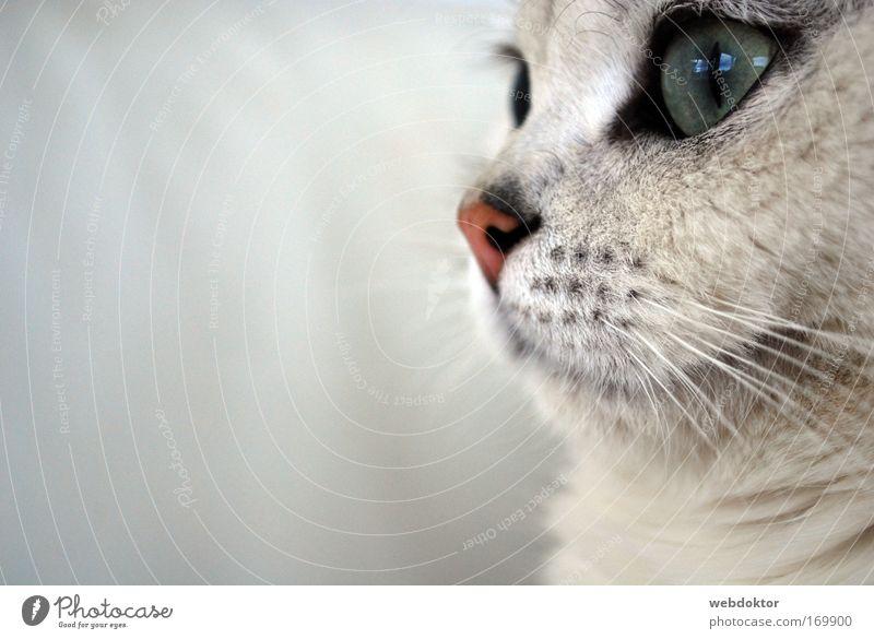 Picaso die Katze schön weiß Auge Tier träumen Katze warten elegant niedlich Haustier kuschlig Schnauze Sympathie staunen