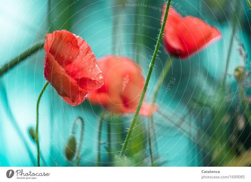 Regenmohn Natur Pflanze Wassertropfen schlechtes Wetter Blume Blüte Mohn Garten Blühend Duft Wachstum blau rot türkis Freude Design elegant Nasser Mohn