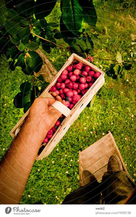 Schön festhalten maskulin Arme Hand Fuß 1 Mensch Umwelt Natur Pflanze Klima Schönes Wetter Baum Blatt Kirsche Korb Leiter Leitersprosse stehen lecker oben süß