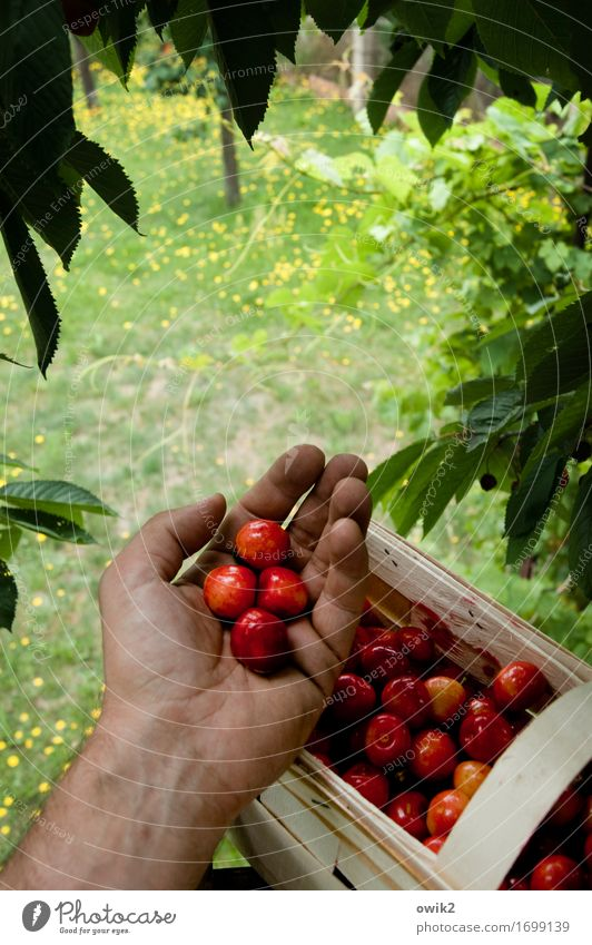 Bisschen naschen maskulin Hand Finger 1 Mensch Umwelt Natur Landschaft Pflanze Klima Schönes Wetter Baum Blatt Kirsche Korb Arbeit & Erwerbstätigkeit lecker süß