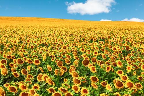 Sonnenblumen Himmel Natur Pflanze Sommer schön Blume Landschaft Wolken Ferne Leben Horizont Feld Wachstum Fröhlichkeit Schönes Wetter