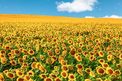 Sonnenblumen Öl Natur Landschaft Pflanze Himmel Wolken Sommer Schönes Wetter Blume Nutzpflanze Feld Wachstum schön nachhaltig positiv mehrfarbig Fröhlichkeit