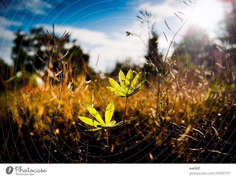 Sonne tanken Umwelt Natur Landschaft Pflanze Himmel Wolken Frühling Klima Schönes Wetter Sträucher Blatt Nutzpflanze Lupine Lupinenblatt Wachstum dünn