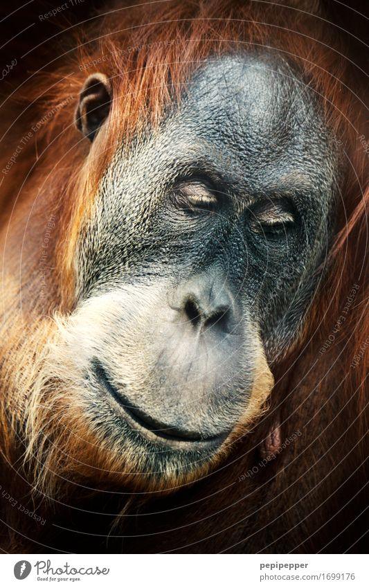 menschlich Zoo Gesicht Auge Nase Mund Lippen Tier Wildtier Tiergesicht Fell Affen Orang-Utan 1 Denken träumen außergewöhnlich braun Gefühle Stimmung Traurigkeit