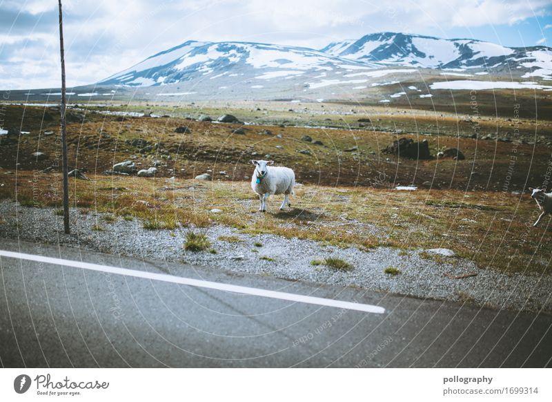 Määh Natur Landschaft Erde Himmel Wolken Wetter Gras Berge u. Gebirge Gipfel Schneebedeckte Gipfel Tier Nutztier Schaf 1 stehen Abenteuer
