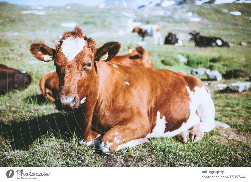 Look at this! Natur Erde Schönes Wetter Gras Wiese Tier Nutztier Kuh Herde liegen Farbfoto Außenaufnahme Menschenleer Tag Starke Tiefenschärfe