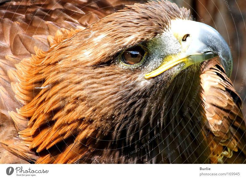 König der Lüfte 1 Farbfoto Außenaufnahme Starke Tiefenschärfe Zentralperspektive Wegsehen Vogel Tiergesicht Mut authentisch einzigartig elegant Kraft Macht