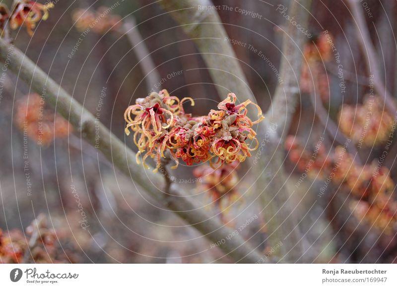 Zaubernuss Natur schön Tier Blüte Glück Hoffnung Sträucher Willensstärke Grünpflanze schlechtes Wetter