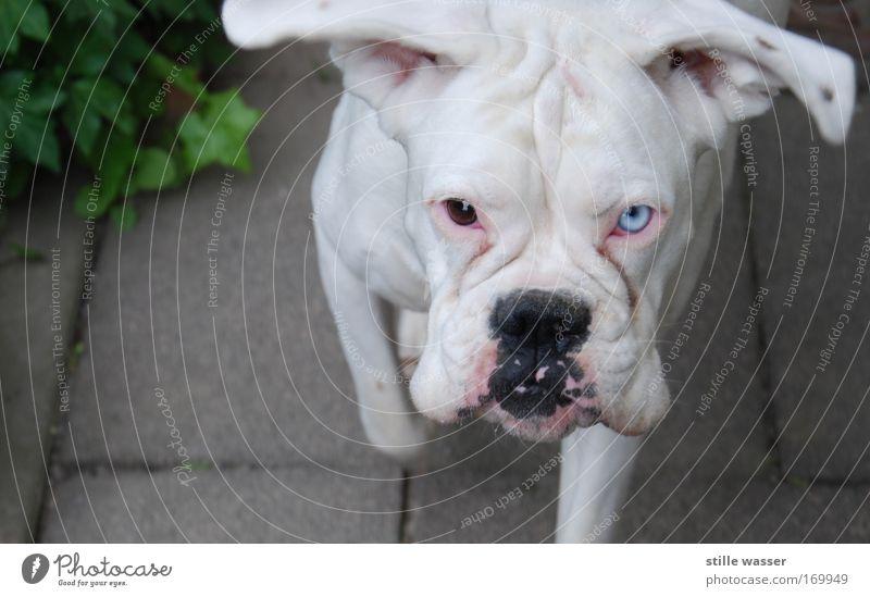 Albino Farbfoto Außenaufnahme Textfreiraum links Tag Tierporträt Blick Blick in die Kamera Haustier Hund füttern Aggression bedrohlich Coolness Freundlichkeit