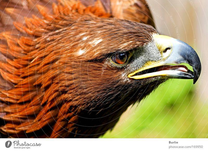 König der Lüfte 2 Natur schön Tier ruhig Vogel Kraft Geschwindigkeit ästhetisch außergewöhnlich authentisch Macht einzigartig Kontrolle Leichtigkeit Stolz Sinnesorgane