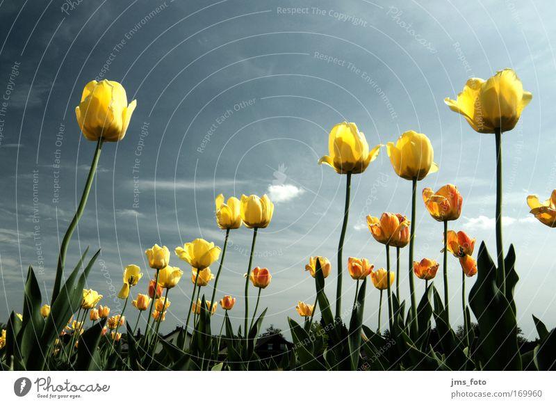 Tulpen [acid] Farbfoto Außenaufnahme Nahaufnahme Menschenleer Textfreiraum oben Tag Sonnenlicht Starke Tiefenschärfe Froschperspektive Weitwinkel Natur Pflanze