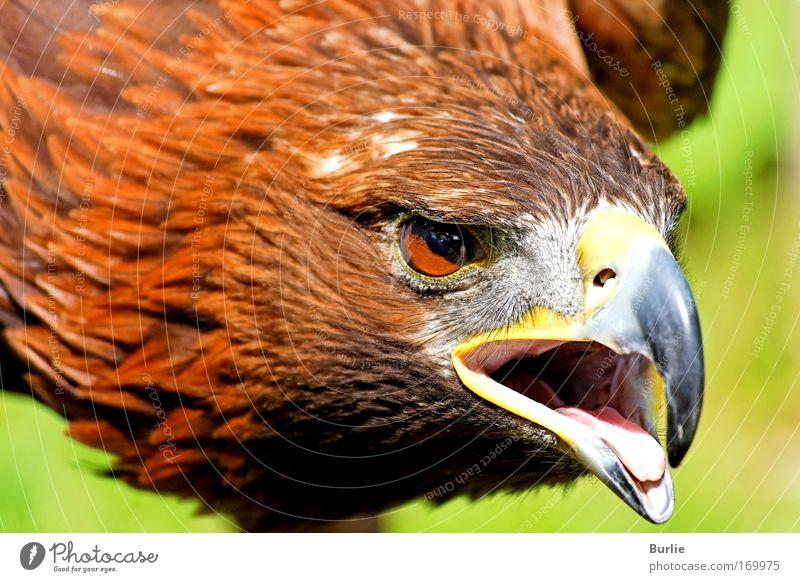 König der Lüfte 3 schön ruhig Tier Vogel elegant fliegen Erfolg groß Geschwindigkeit ästhetisch Macht bedrohlich Flügel stark Jagd Aggression