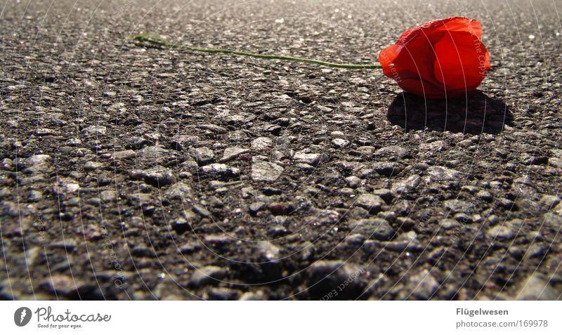"""""""Du hast mich einfach fallen gelassen"""" ;-( Natur Pflanze Einsamkeit Straße Tod Umwelt Traurigkeit liegen bedrohlich Trauer Mohn schreien Sorge Liebeskummer"""