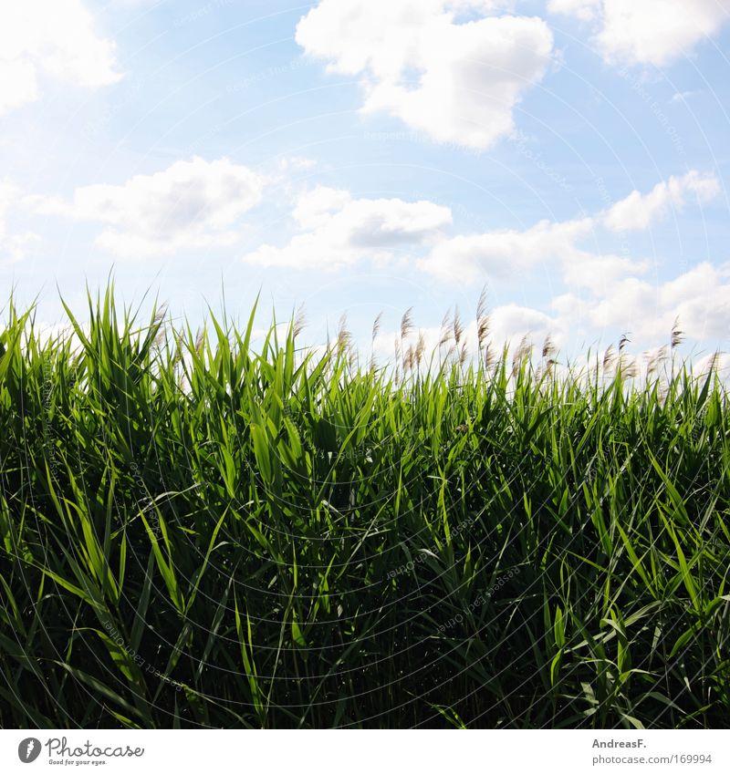 Verlandet. Farbfoto mehrfarbig Außenaufnahme Textfreiraum oben Textfreiraum unten Sonnenlicht Umwelt Natur Landschaft Pflanze Himmel Wolken Sommer Klimawandel