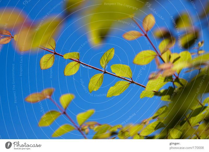 Die Farben der Saison Natur Pflanze Himmel Wolkenloser Himmel Sonnenlicht Frühling Schönes Wetter Sträucher Blatt blau grün durchscheinend Farbenspiel