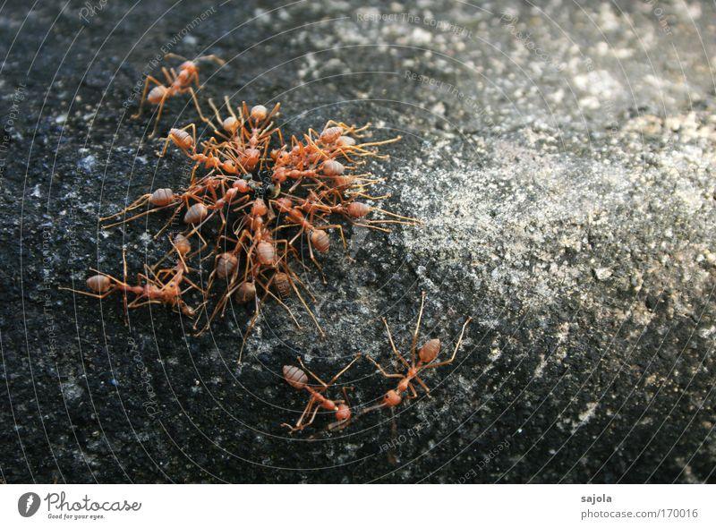 ameisenteamwork Natur rot Tier Wand grau Stein Mauer Zusammensein Beton Kommunizieren Tiergruppe Team Insekt festhalten Fressen Nahaufnahme
