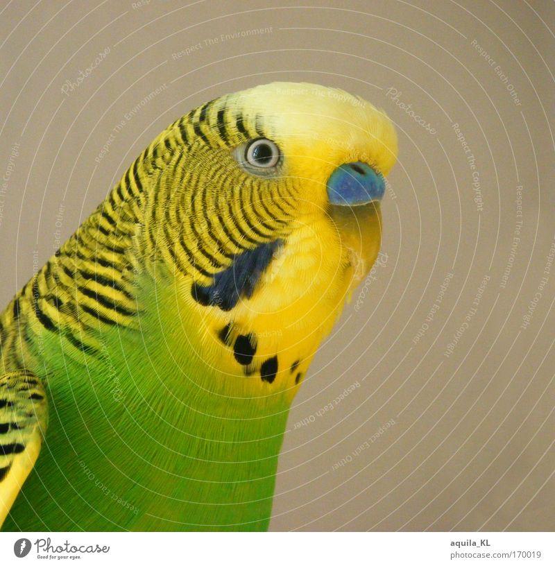 Rätsel Frage Tier Auge Wellen Vogel Angst Wildtier Feder hören Stress Haustier Schnabel Australien Tierliebe Papageienvogel Freisteller