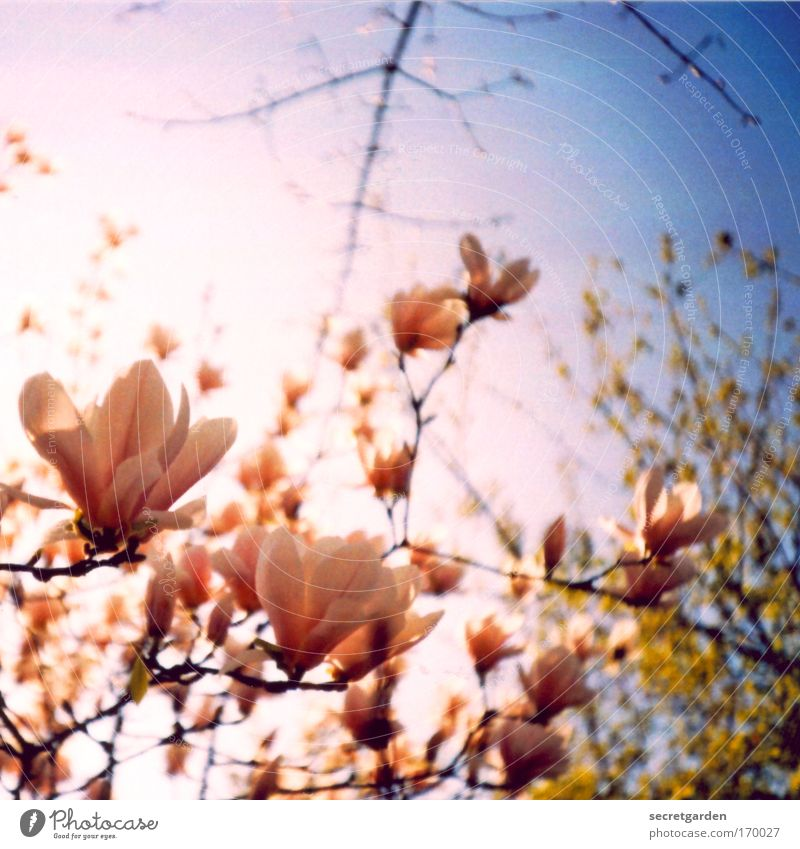 kirschblüten- äh magnolienvernarrt Lomografie Natur Baum blau Pflanze Sommer Morgen Blüte Frühling Park rosa Blume Umwelt Magnoliengewächse ästhetisch Holga