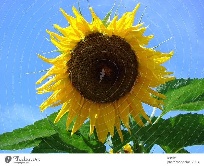 sonnenblume Natur Sonne Blume Sommer gelb Garten Sonnenblume