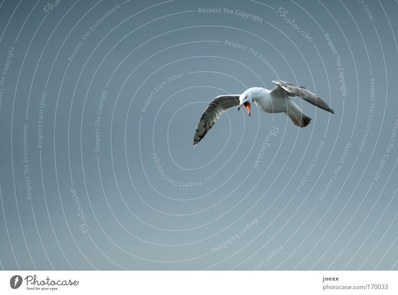 Schrei! Himmel Tier grau Vogel offen fliegen Wut schreien Möwe böse Schnabel Aggression Ärger Frustration Hass Entschlossenheit