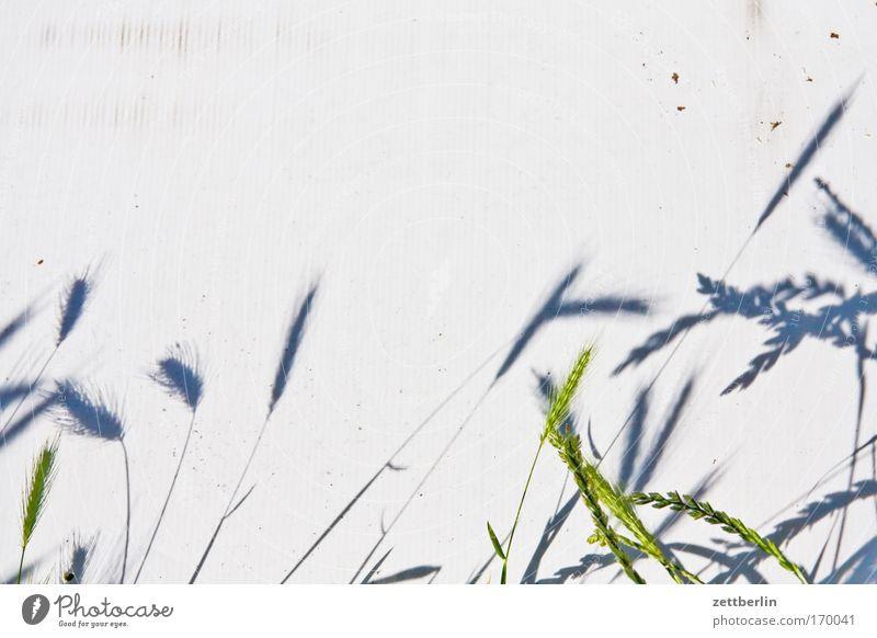 Getreide Pflanze Wildpflanze Landwirtschaft kulturpflanzen Halm Gras Korn Ähren Granne spelzen Ernte dreifelderwirtschaft Schatten Sommer Gerste Weizen Roggen