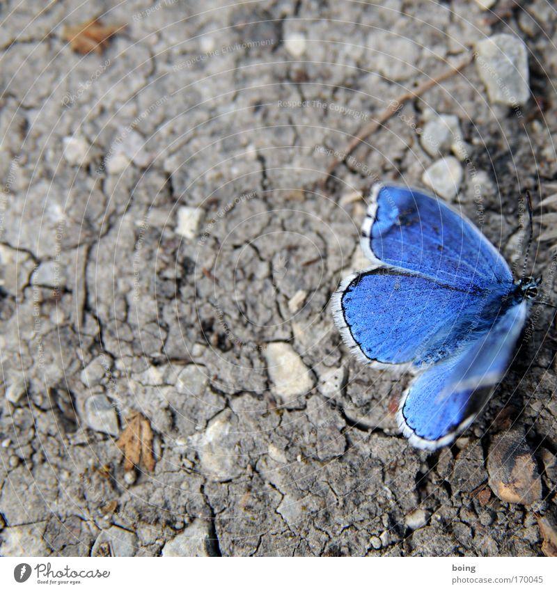 lebensnahe, ehrliche Fotografie von nem Bläuling Natur blau Tier Stein Sand Wetter Umwelt Erde Klima Wüste Schutz Kontakt Schmetterling Wildtier trocken Verzweiflung