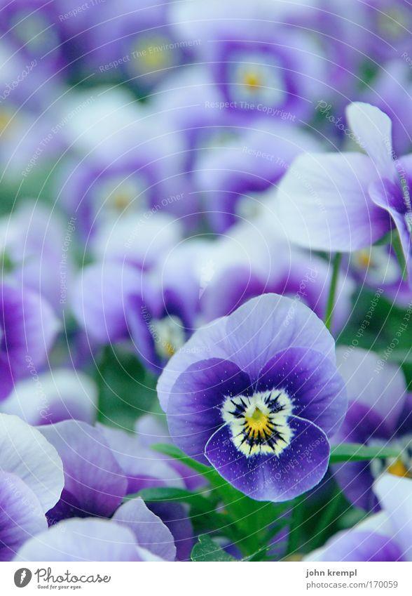 viola Farbfoto mehrfarbig Außenaufnahme Textfreiraum oben Schwache Tiefenschärfe Pflanze Blume Stiefmütterchenblüte Park Friedhof Blühend Kitsch schön violett