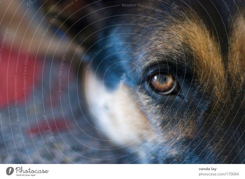 Treuer Blick Tier Auge Hund Haare & Frisuren liegen Sicherheit Warmherzigkeit Schutz Vertrauen Wachsamkeit Haustier Teppich Treue Sympathie Verantwortung friedlich