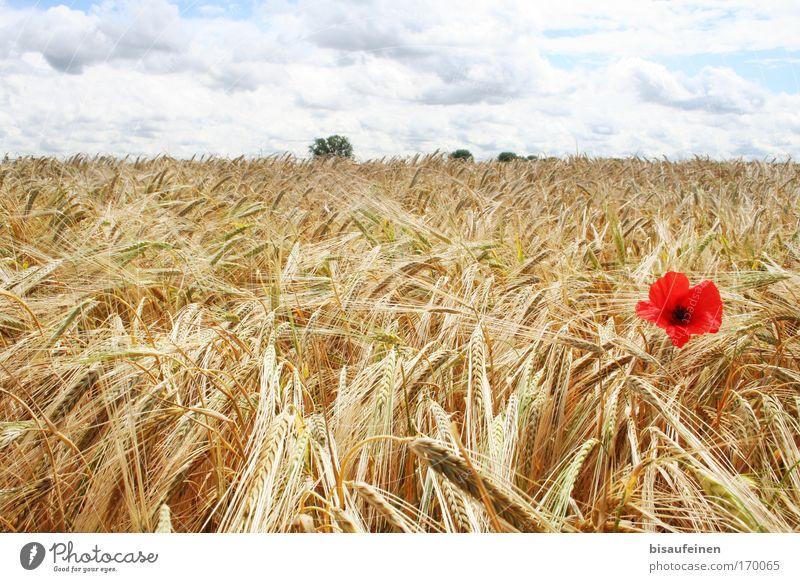 Mohnkorn Natur schön Himmel Blume Pflanze rot Sommer Wolken Einsamkeit Landschaft Feld groß Horizont einzigartig