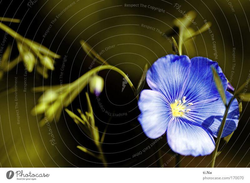 Lein Blume Blüte Nutzpflanze Wildpflanze Flax Faserlein Leinsamen Wiese Feld Blühend Wachstum ästhetisch blau gelb grün Vergangenheit Leinöl Heilpflanzen