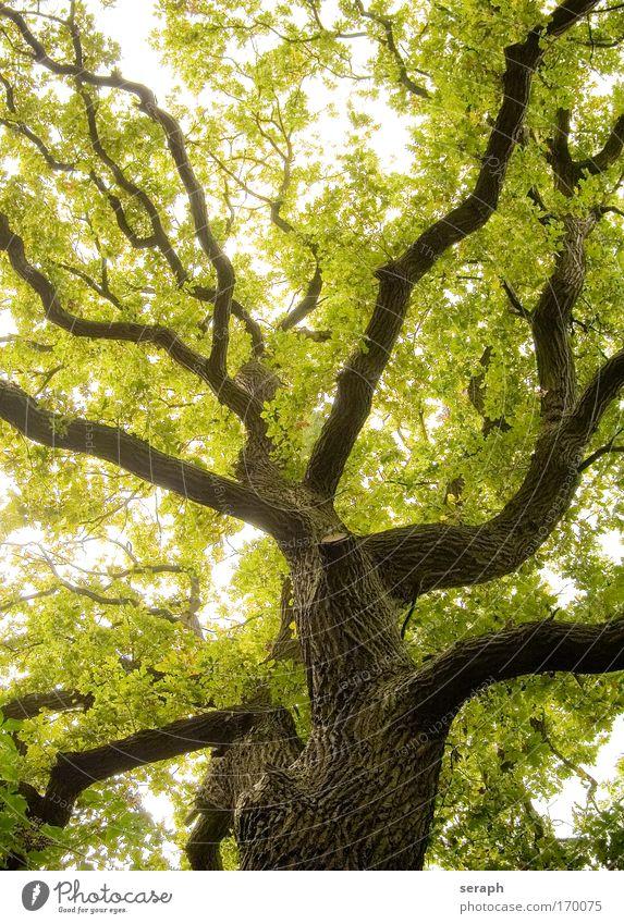 Alte Eiche grün Baum Blatt Wald Leben Wachstum Ast Baumkrone Märchen antik Vernetzung Geäst pflanzlich Atmosphäre Labyrinth verzweigt
