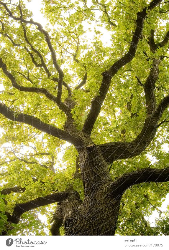 Alte Eiche oak antik Atmosphäre bark Ast verzweigt Geäst canopy crown of tree crust filigree flora Blatt Wald grün Wachstum Blätterdach Leben Vernetzung stem