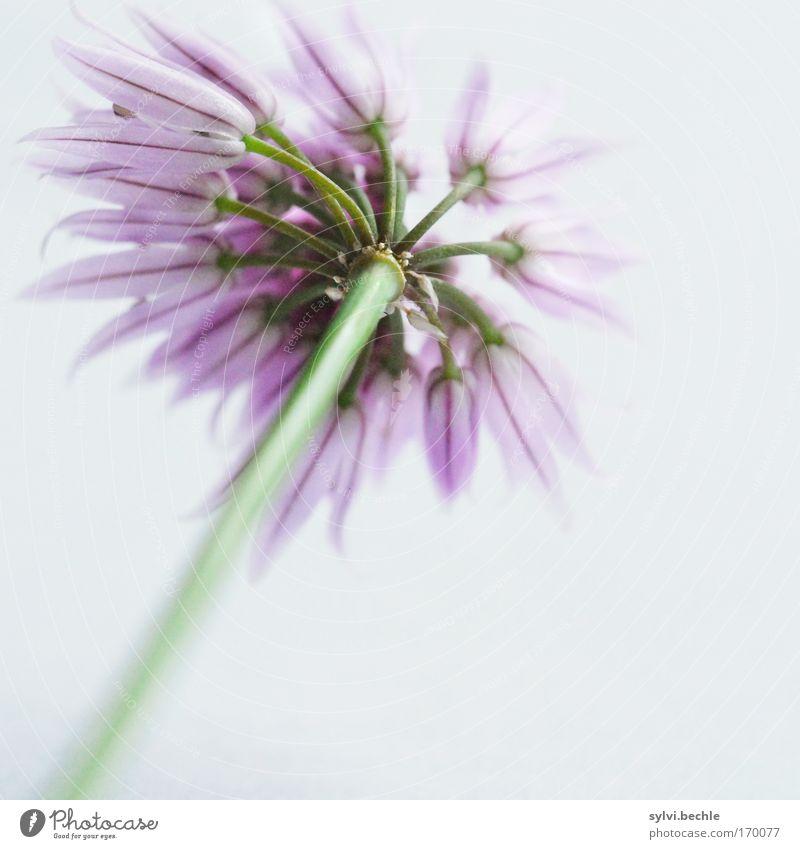 zu lang gewartet Umwelt Natur Pflanze Blüte Nutzpflanze frisch natürlich schön Spitze grau grün violett Wachstum Schnittlauch Farbfoto mehrfarbig Innenaufnahme