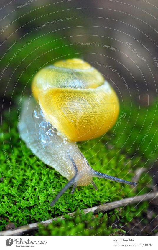 Hürdenlauf Natur Pflanze Tier Erde Moos Wildtier Schnecke Neugier niedlich schleimig gelb grün Schneckenhaus Zeitlupe langsam Zweige u. Äste Blase durchsichtig