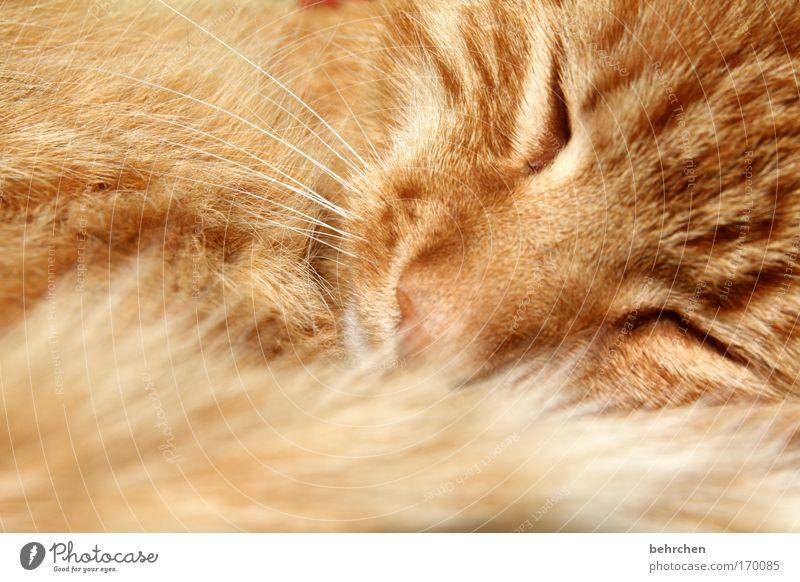 der glückliche Katze schön Auge Glück orange Zufriedenheit genießen weich schlafen Nase Schutz Sicherheit Vertrauen Fell Haustier Tiergesicht