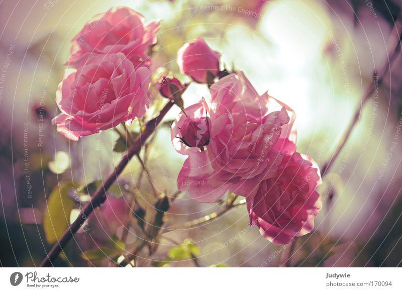 Im Rosengarten Natur Pflanze schön Sommer Blume Traurigkeit Blüte Gefühle Frühling natürlich Glück Stimmung rosa Park Wachstum genießen