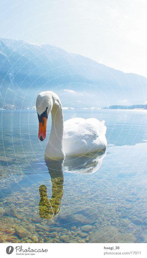 Schwan Hochformat See Licht weiß Verkehr Wasser Berge u. Gebirge hell blau