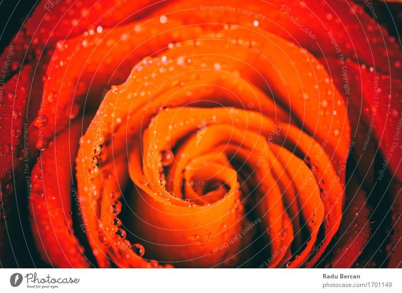 Natur Pflanze Farbe Sommer schön Wasser Blume rot Blüte Liebe Gefühle Glück orange elegant Wassertropfen Blühend