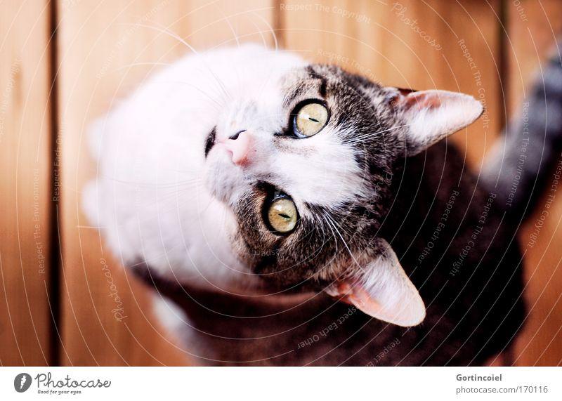 Liebstes Farbfoto Innenaufnahme Tag Licht Schatten Schwache Tiefenschärfe Vogelperspektive Tierporträt Blick in die Kamera Haustier Katze Tiergesicht Fell