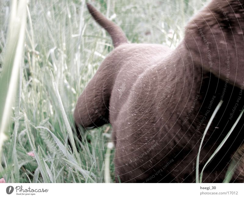 teddy Hund Fell Wiese grün Labrador Teddybär braun schoko wedeln