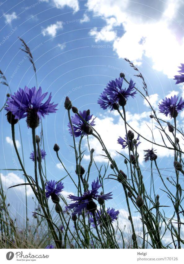 Blüten und Knospen von Kornblumen vor blauem Himmel mit Wolken Farbfoto mehrfarbig Außenaufnahme Nahaufnahme Menschenleer Textfreiraum oben Tag Schatten