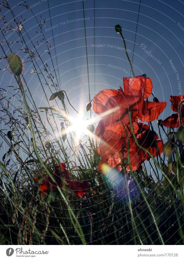 Wild at heart Natur Himmel Sonne Blume blau Pflanze rot Sommer Blüte Gras Stimmung glänzend Umwelt Wachstum wild Blühend